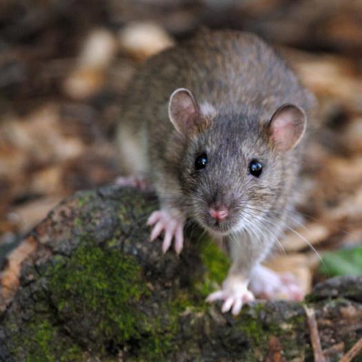 qui est vraiment le rat brun, ce petit mammifère citadin ?