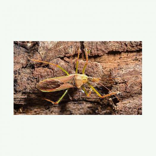 Zelus renardii (Kolenati, 1856) : une Réduve nouvelle pour la France (Hemiptera, Reduviidae, Harpactorinae)