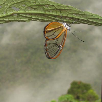 Hypomenitis enigma, un papillon aux ailes transparentes qui vit dans les forets andines, en Equateur ©M.Elias MNHN