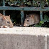 Pourquoi étudier les rats en ville est si difficile