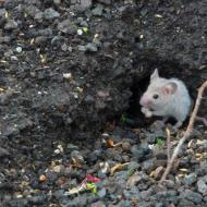 Mieux connaître les souris (et arrêter de les confondre avec les rats)