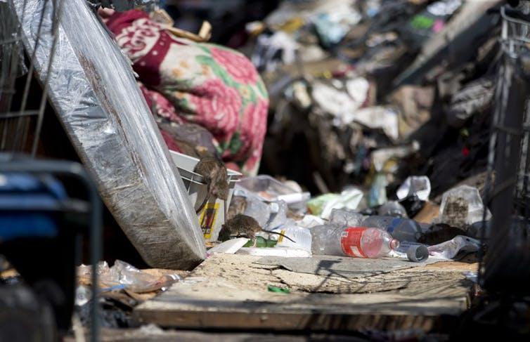 Rat dans une décharge sauvage en région parisienne (2015) © Kenzo Tribouillard/AFP