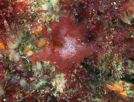 Kallymenia crouaniorum © MNHN