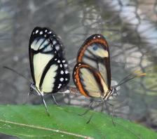 Figure 4. Mating between Andean and Amazonian subspecies of Ithomia salapia © MNHN