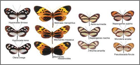 Figure 1. Four mimicry rings formed by ithomiine species in Añangu, Ecuador © MNHN