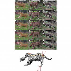 Figure 5: Functional hypothesis of forces transmission through hind limbs when felids pull on food.