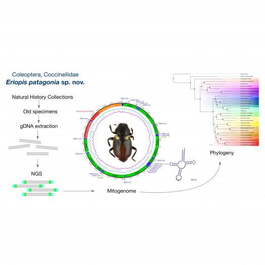 Map of the mitochondrial genome of Eriopis patagonia Salazar, sp. nov.