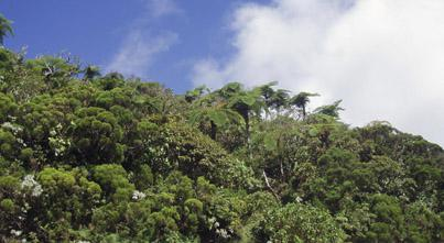 Mountain rainforest at La Grande Montée, with the tree ferns Cyathea glauca emerging from the canopy © S. Hennequin